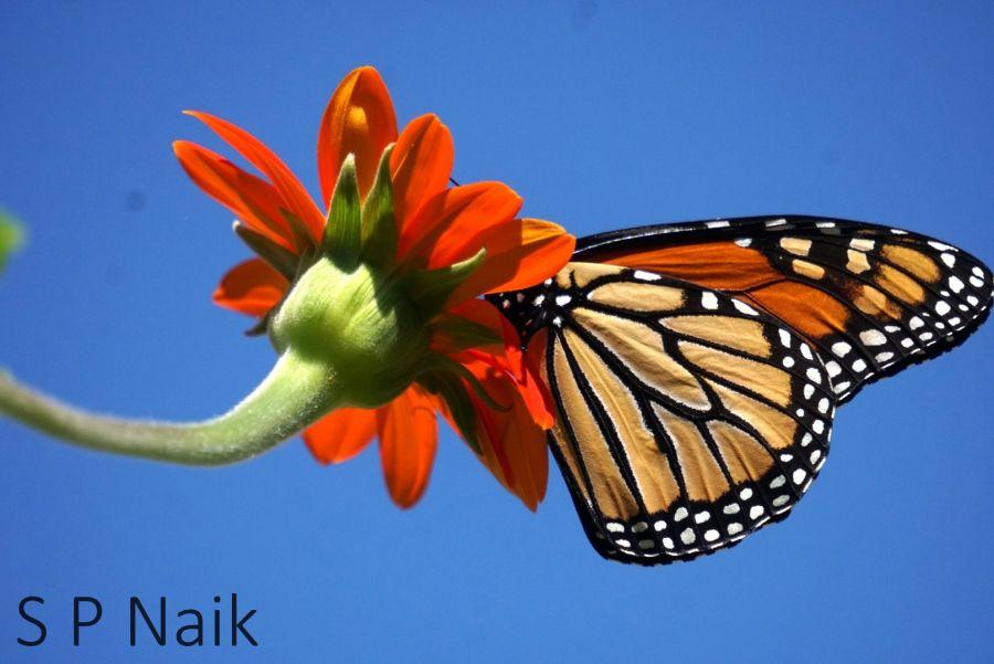 मोनार्क फुलपाखरू, मेक्सिकन सूर्यफूल.