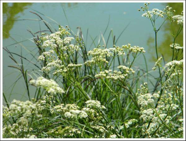 Queen Anne's Lace_1.jpg