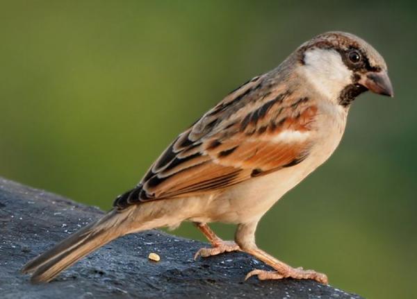 sparrow_org.JPG