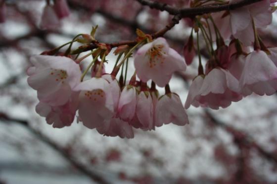 CherryBlossomZabbu.jpg