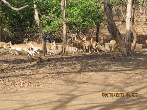 Deers2.JPG