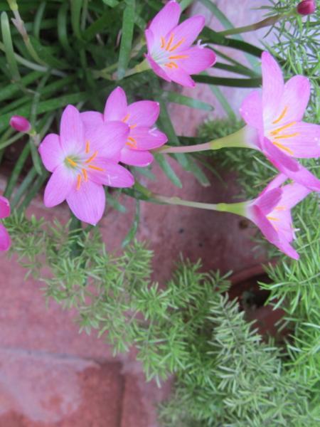 Pink Lily1.JPG