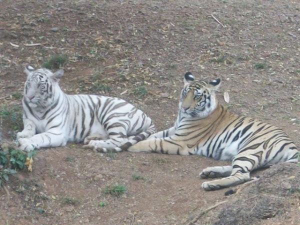Tigers- Nandankanan.jpg