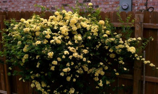 Optimized-yellowrose.jpg