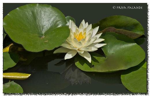 lotus_reflection.jpg