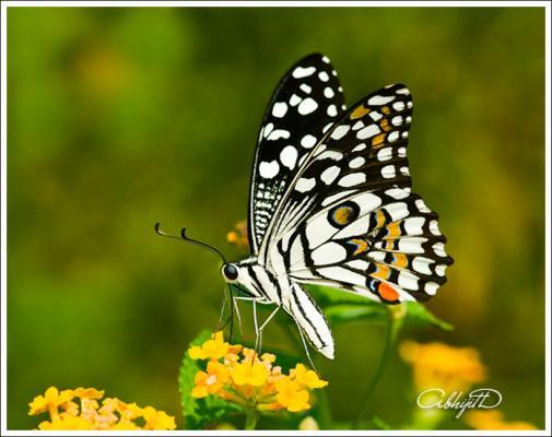 limebutterfly.jpg