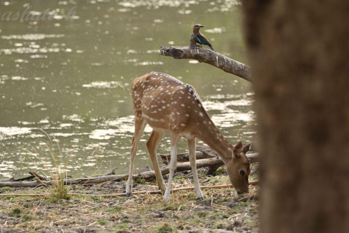 Deer RS.jpg