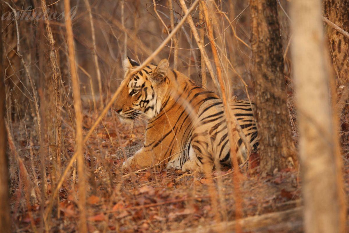 Tiger 1 RS.jpg