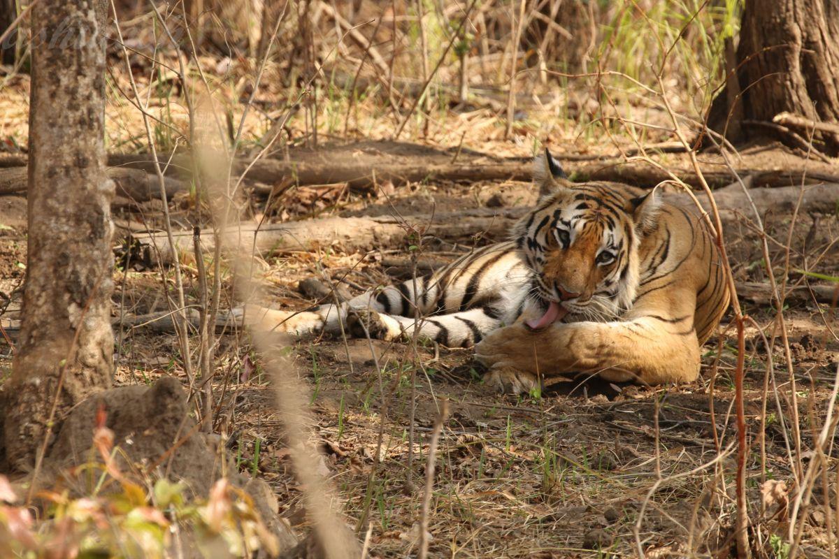 Tiger 10 RS.jpg