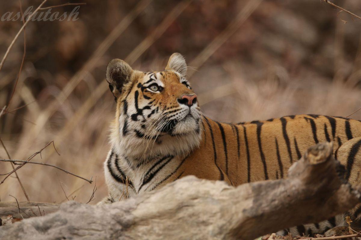 Tiger 11 RS.jpg