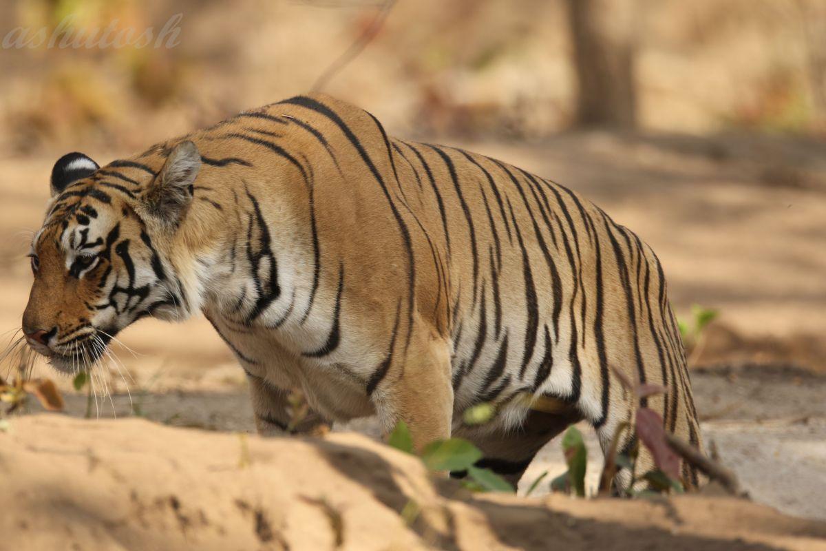 Tiger 3 RS.jpg
