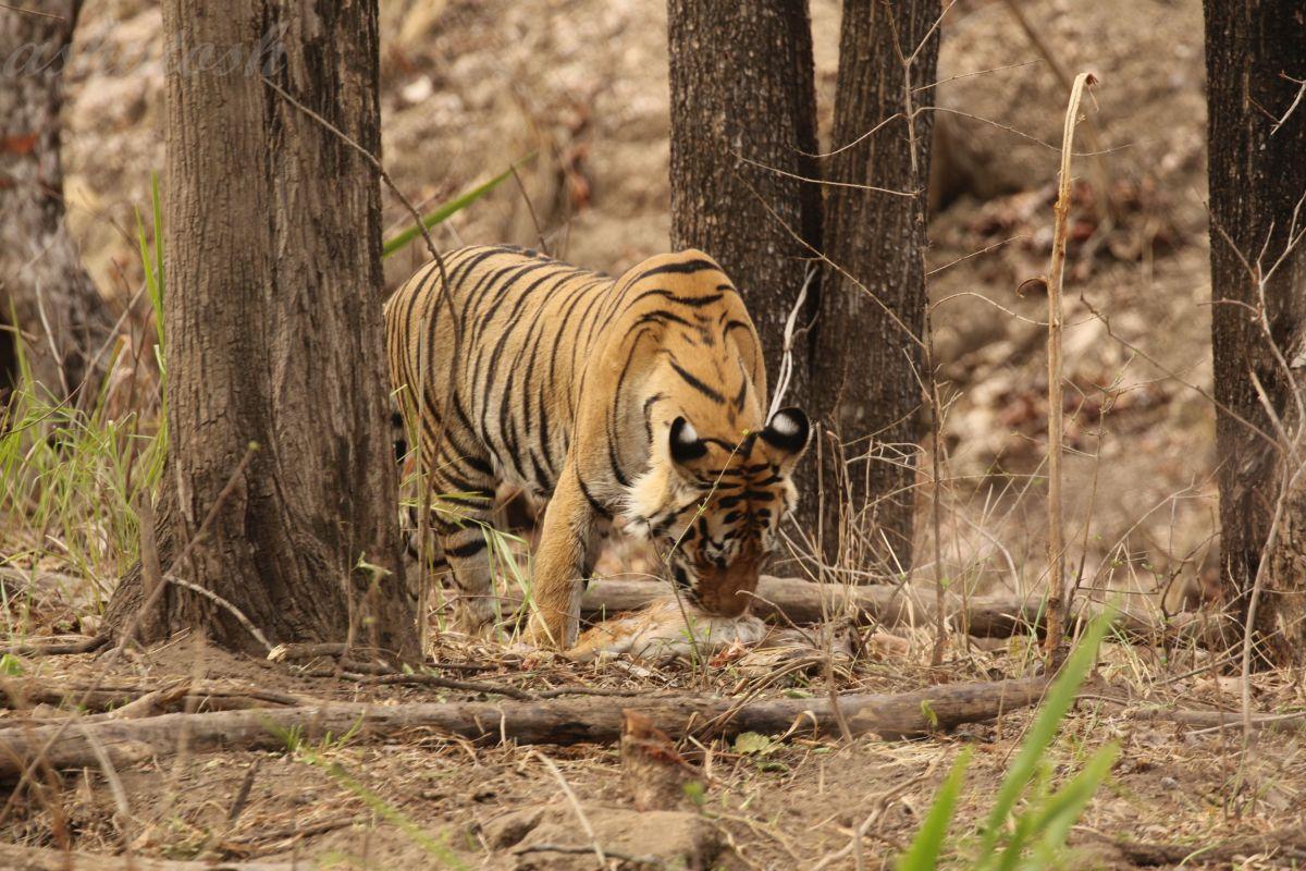 Tiger 4 RS.jpg