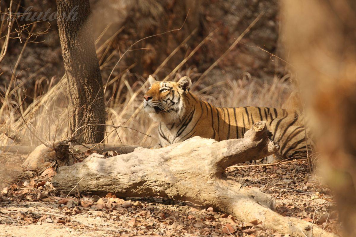 Tiger 5 RS.jpg