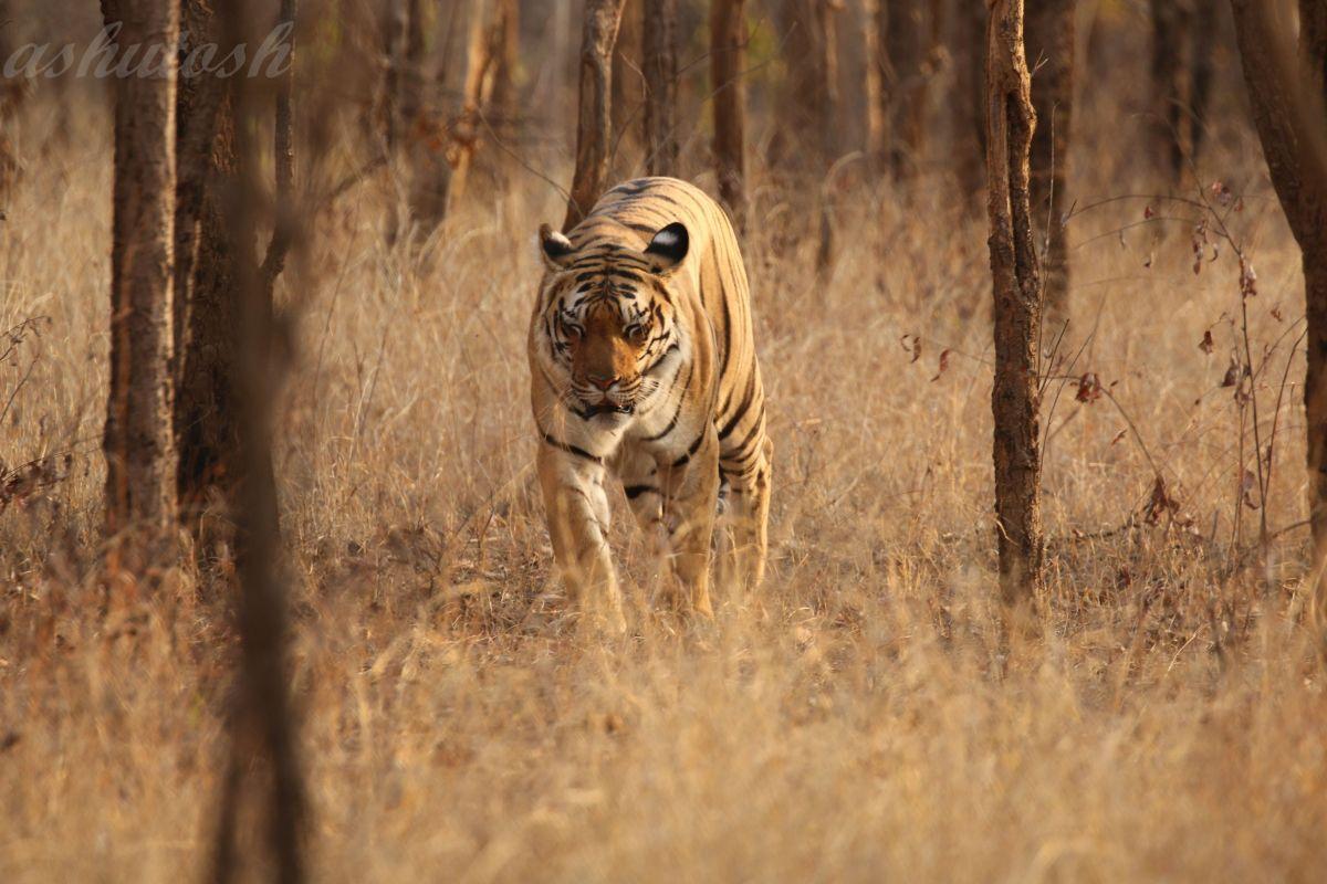 Tiger 6 RS.jpg