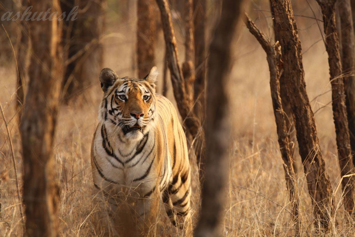 Tiger 7 RS.jpg