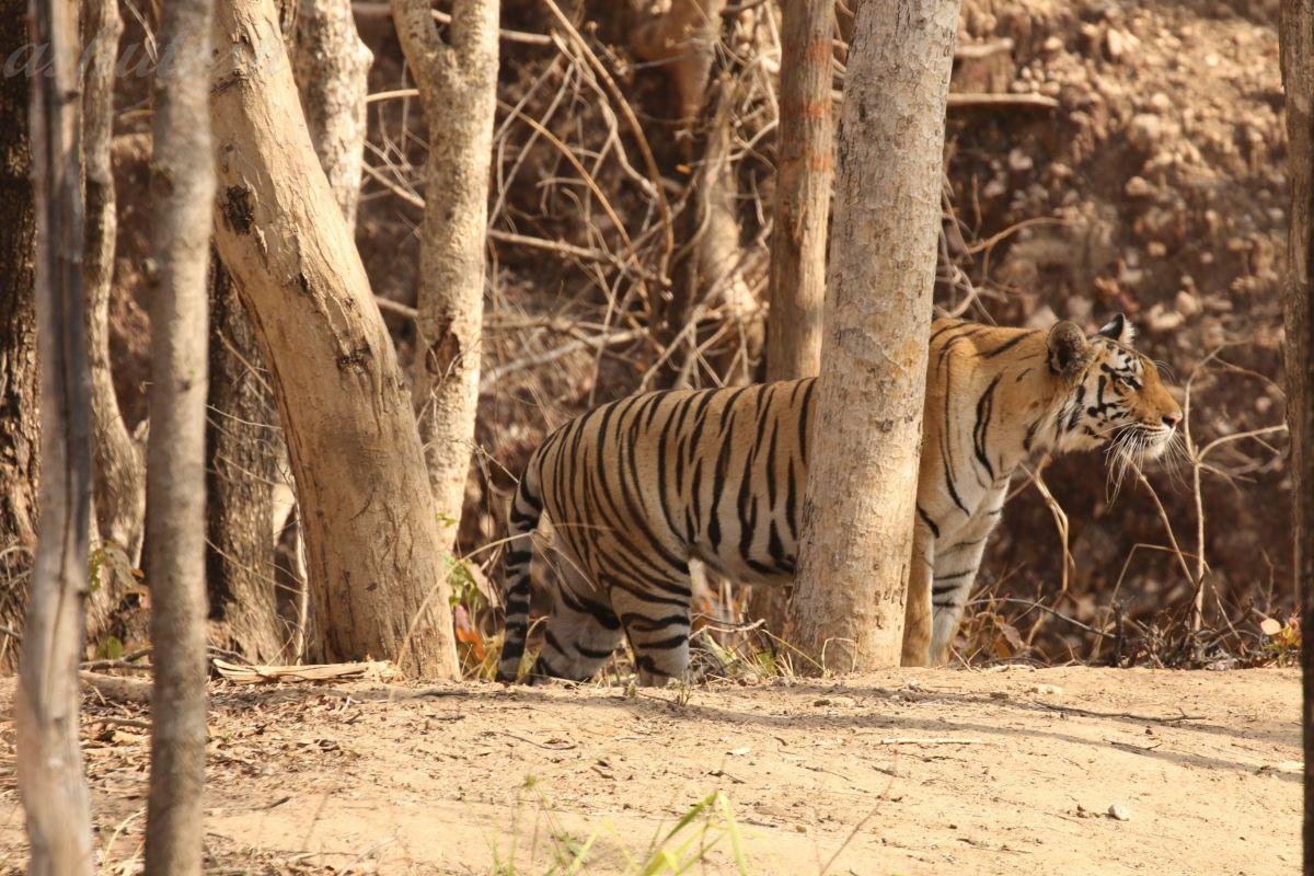 Tiger 8 RS.jpg