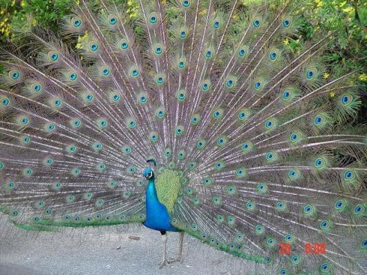 DSC01541-small size peacock.JPG