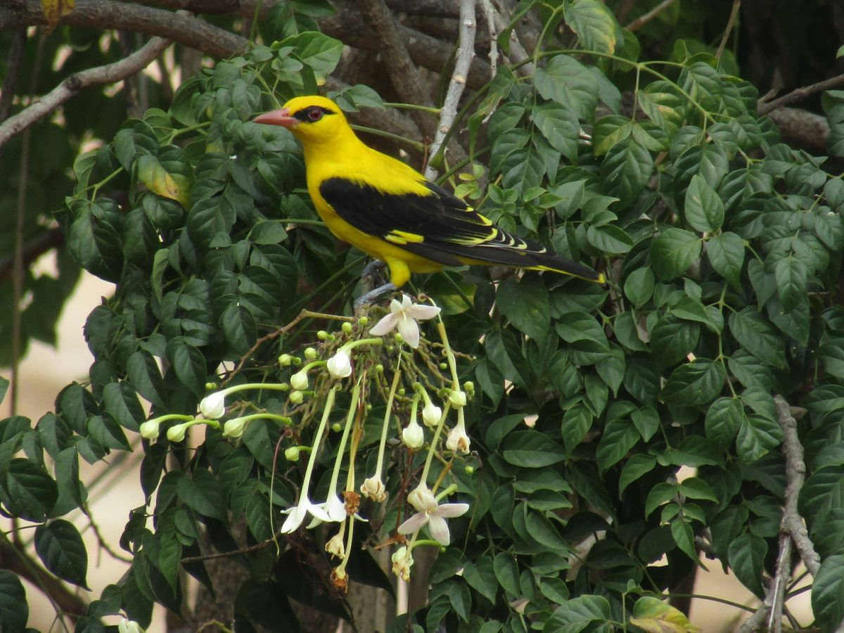 golden_oriole1.jpg