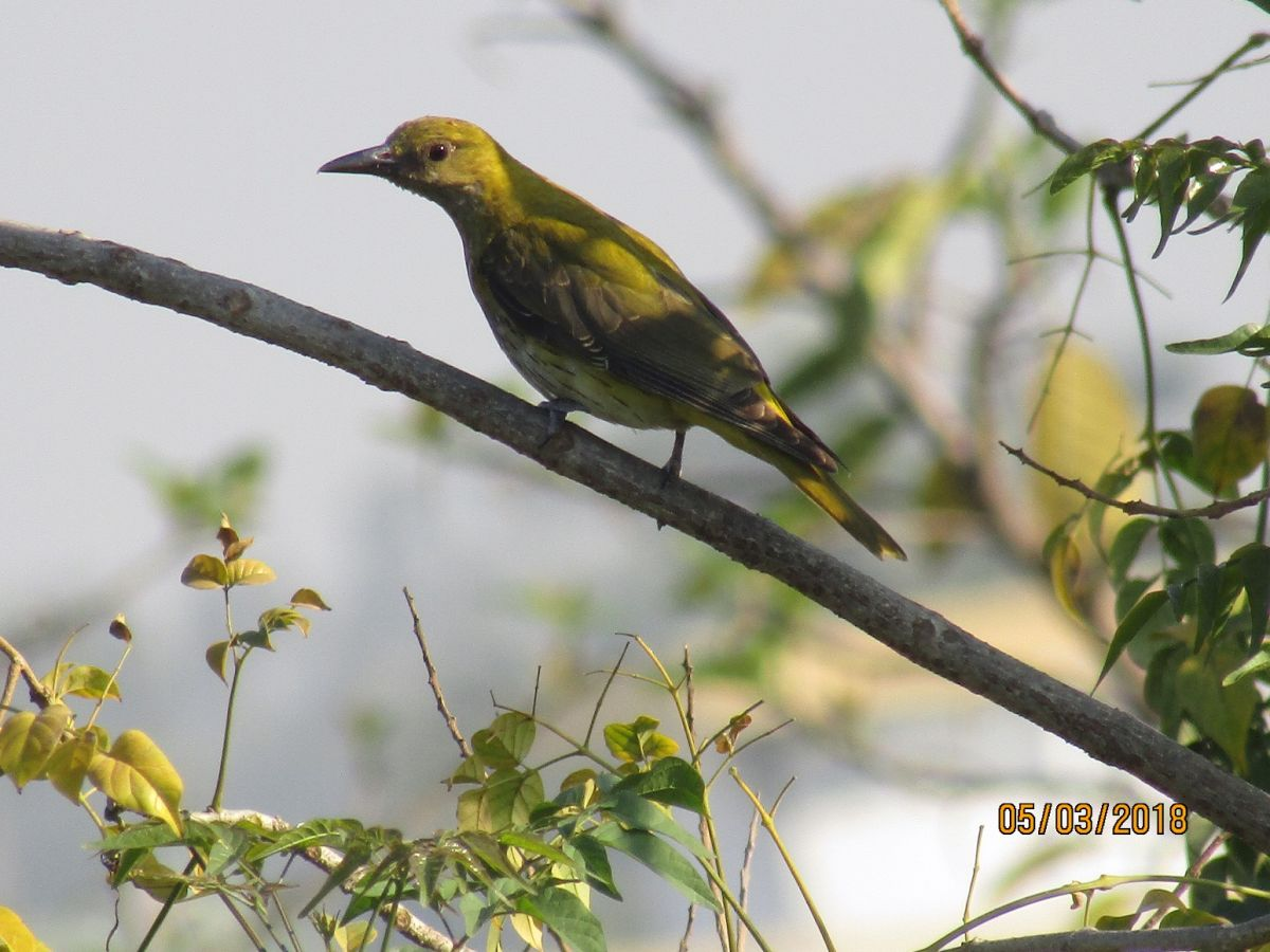 golden_oriole_female.jpg