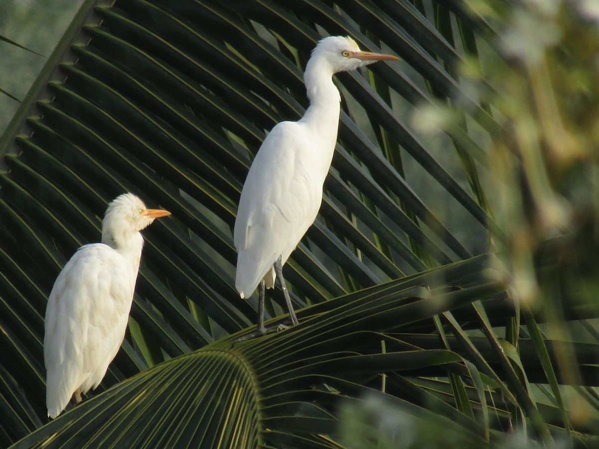 great_egret_1.JPG