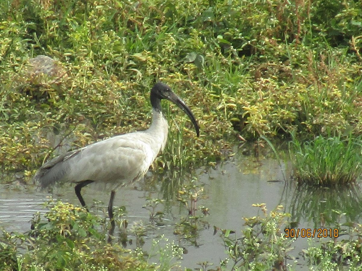 ibis_1_0.jpg