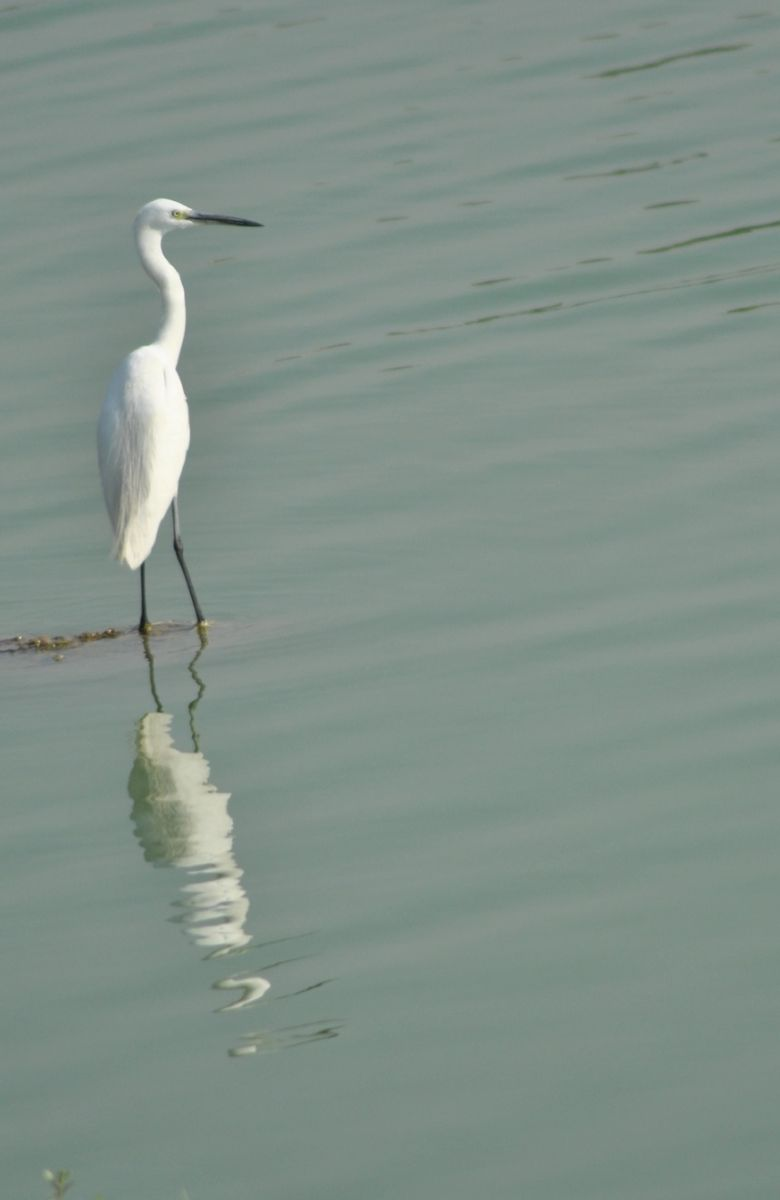 little_egret.jpg