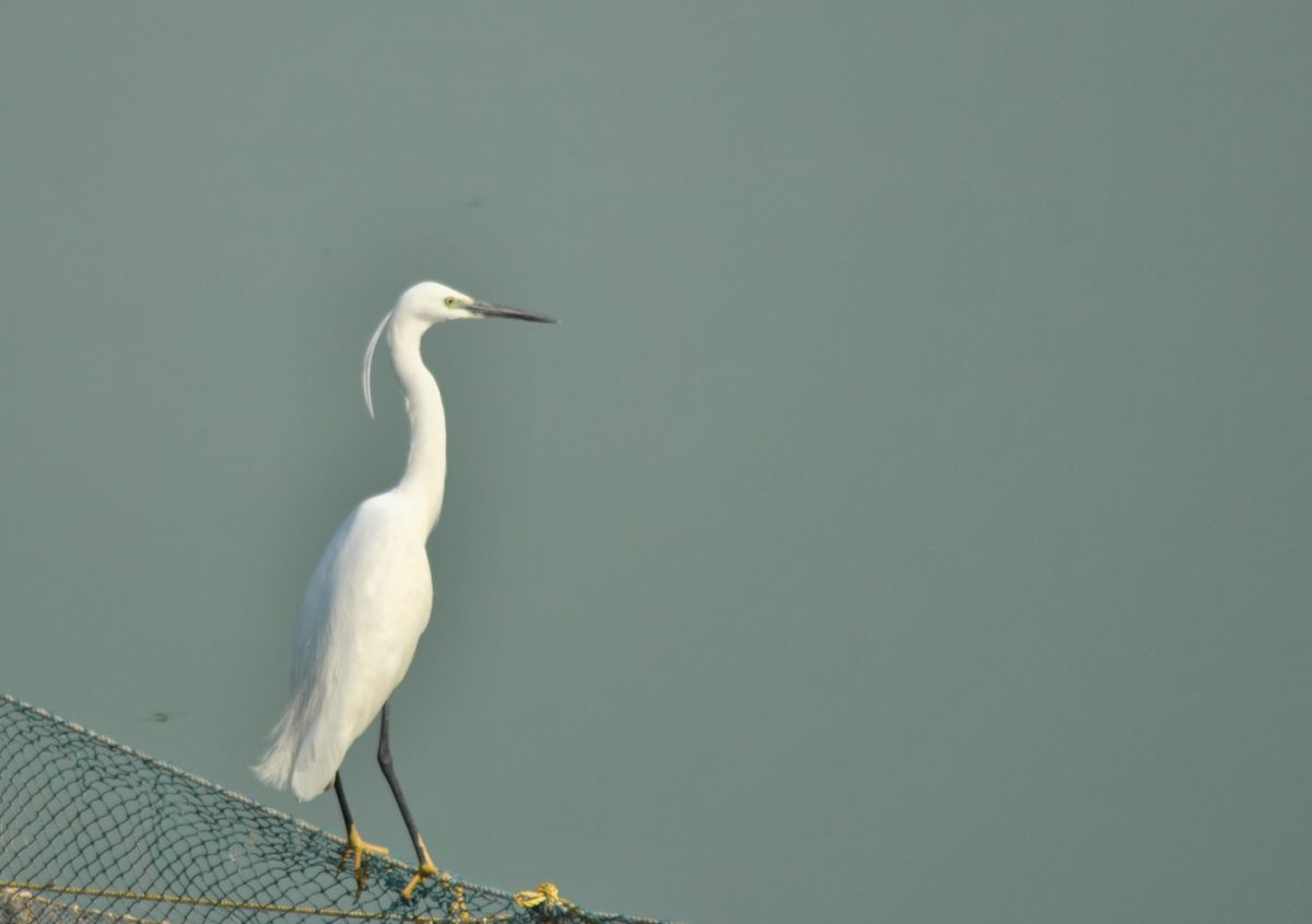 little_egret_1.jpg