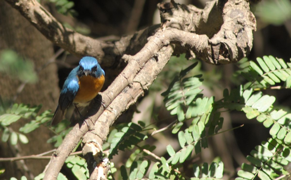 orange_blue_flycatcher1.JPG