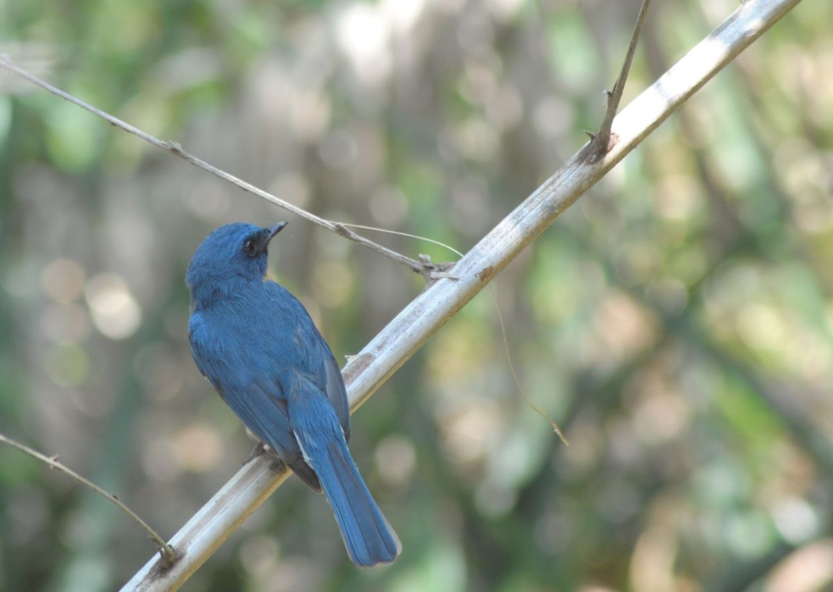 orange_blue_flycatcher2.JPG