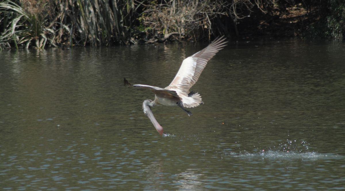 pelican7.jpg