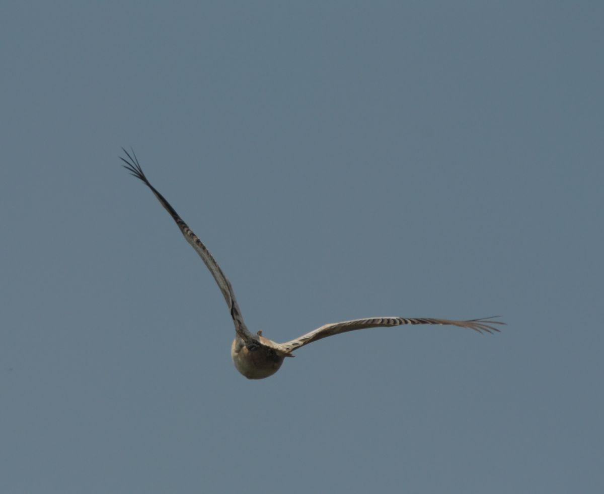 pelican8.jpg