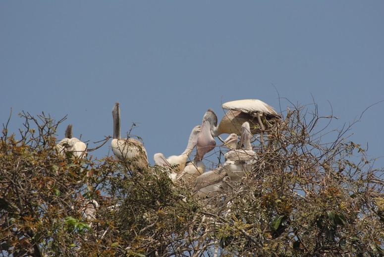pelican_feeding.jpg