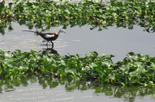 phasent_tailed_jacana.jpg