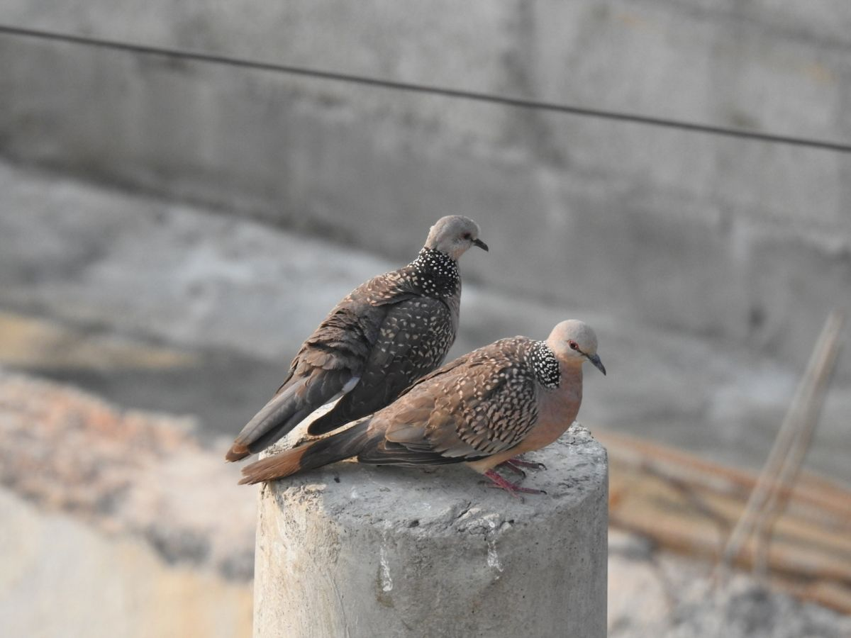 spotted_dove1.jpg
