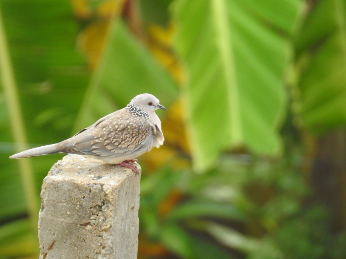 spotted_dove2.jpg