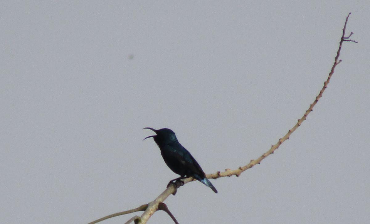 sunbird2.jpg