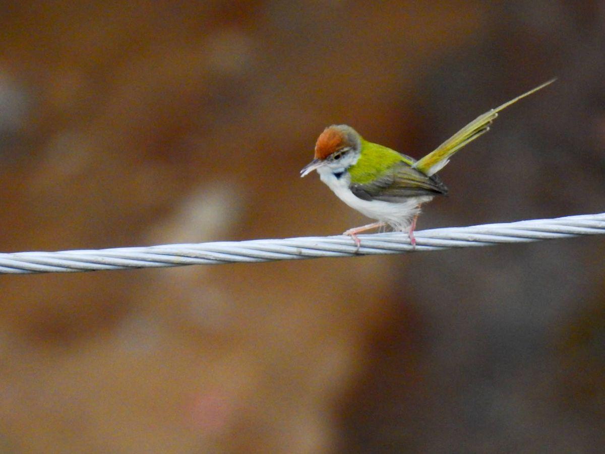 tailorbird_1.jpg