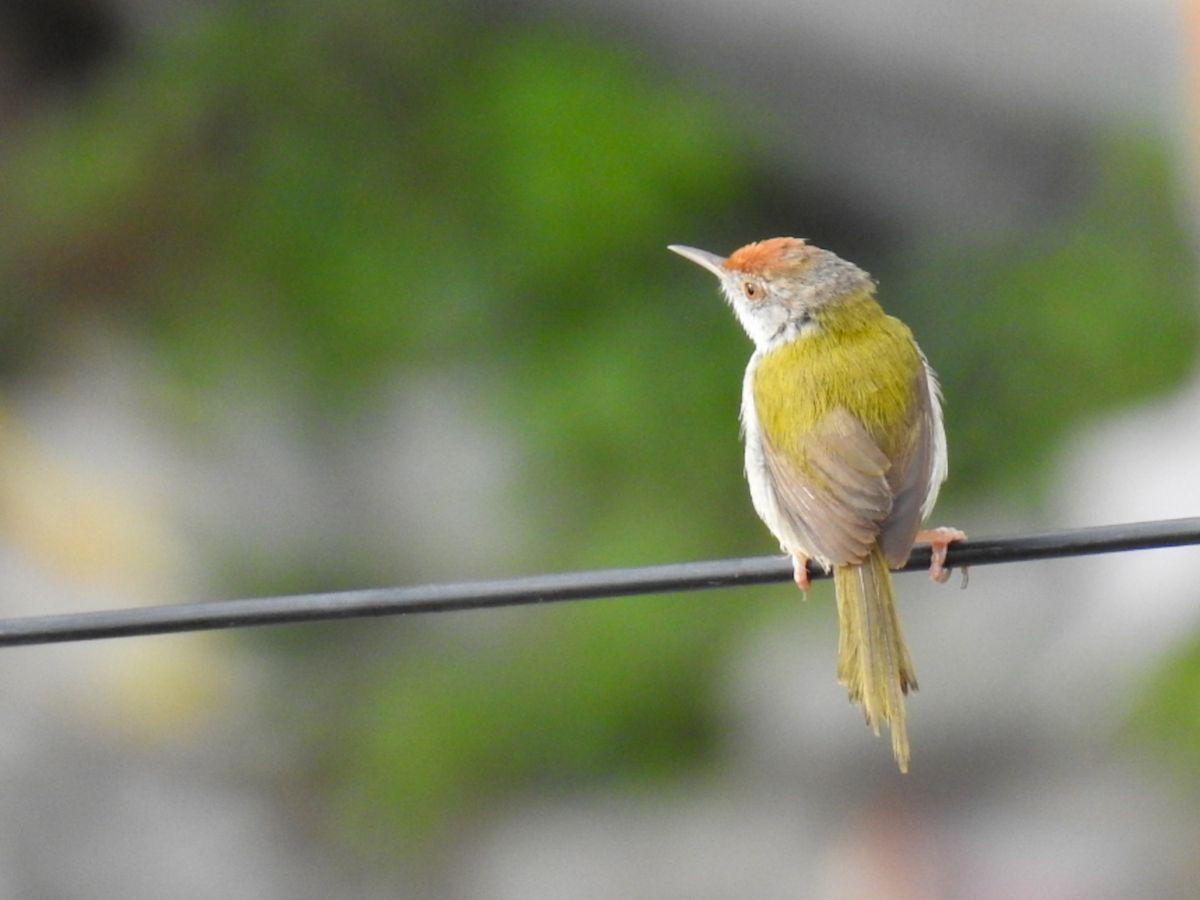 tailorbird_2.jpg