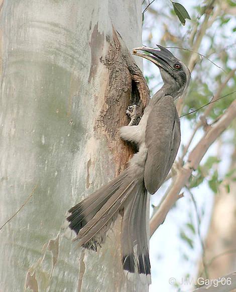 Indian_Grey_Hornbill1.jpg