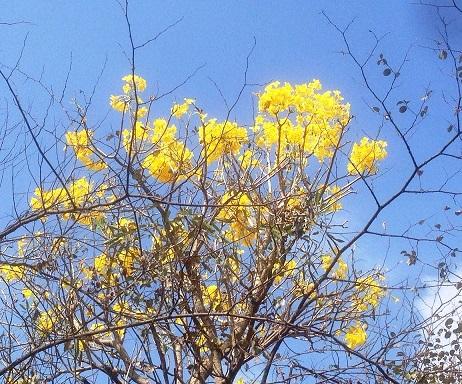 Yellow_flower_plant_full.jpg