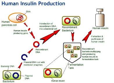 insulinProdn.jpg