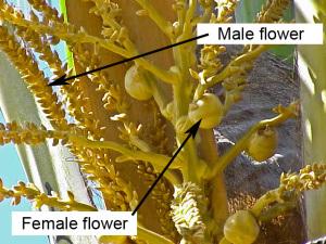 cocos_nucifera-flower-6.jpg