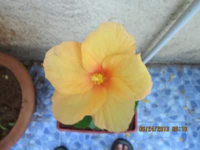 hibiscus yellow.jpg