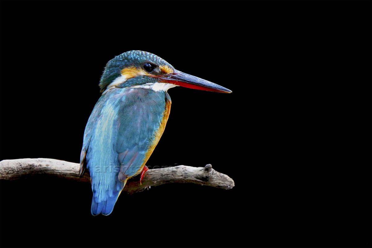 Common-Kingfisher.jpg