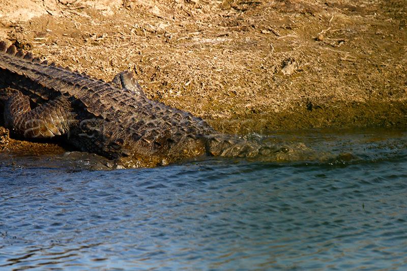 Croc-in-pench.jpg