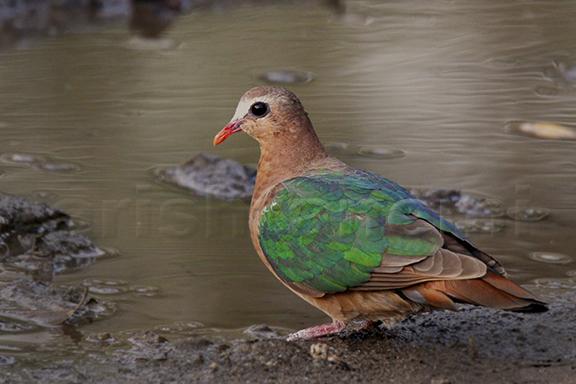 Emerald Dove.jpg