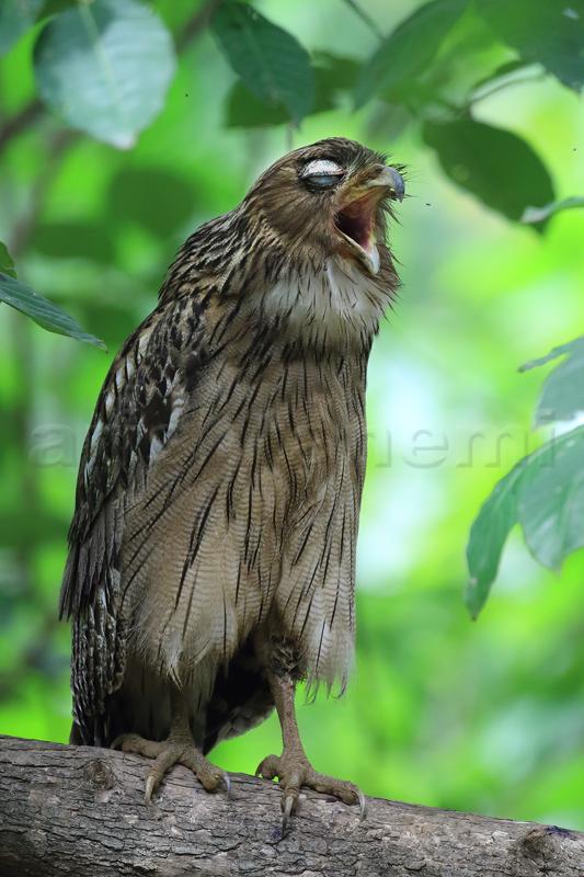 Fish-Owl.jpg
