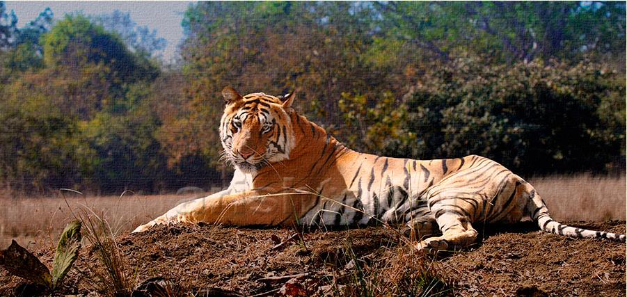 Tiger--1.jpg