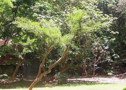 kalabash_tree.jpg