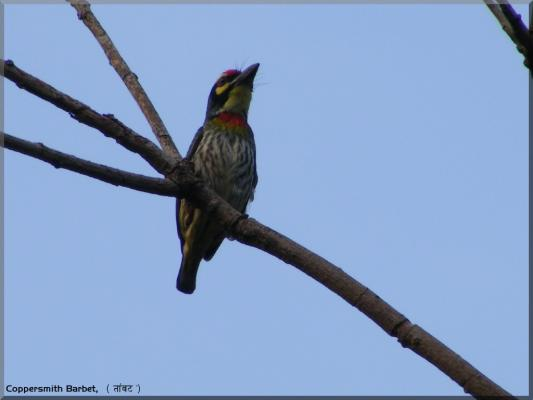 Coppersmith_Barbet00.jpg